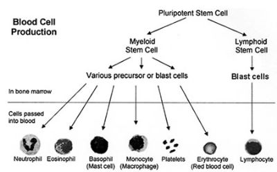 Blood Cell Production