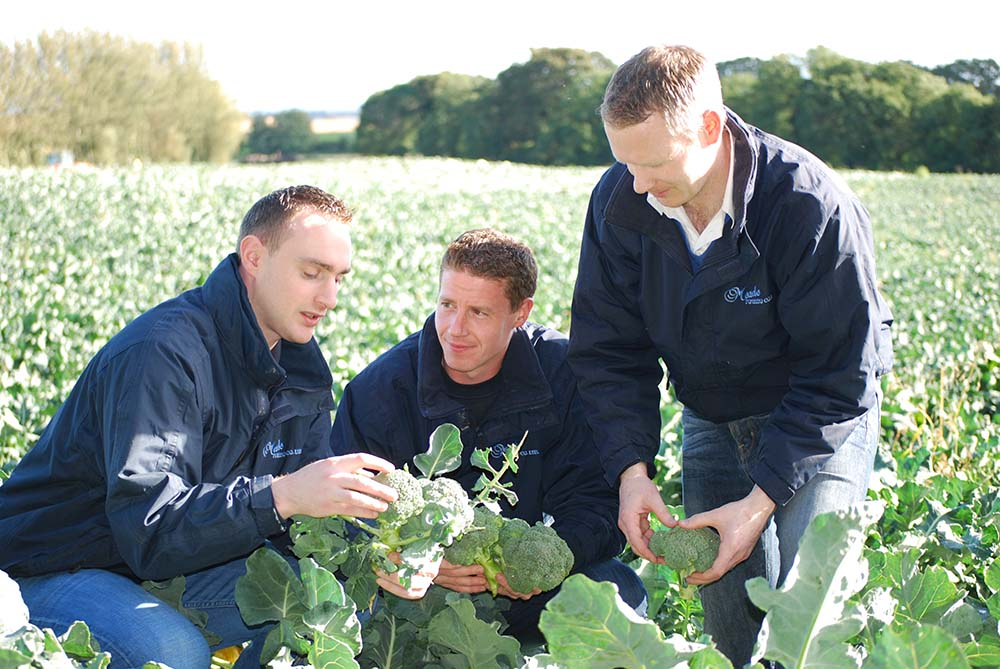 The team inspects the broccoli just prior to harvesting