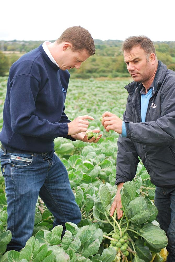 Roy and Dave inspect the brussel sprouts before harvesting