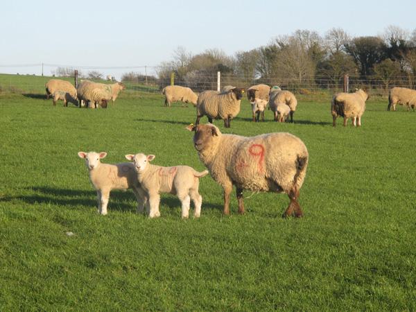 Sheep Image2