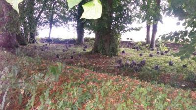 Our Woodland Turkeys