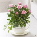 Pink Rose Teacup Planter