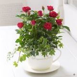 Red Rose Teacup Planter