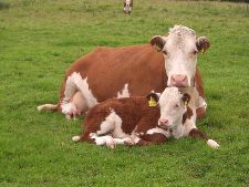 Our Hereford Cow and Calf