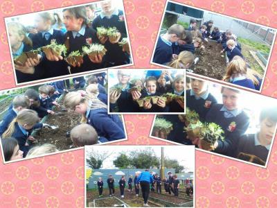 Planting our veg