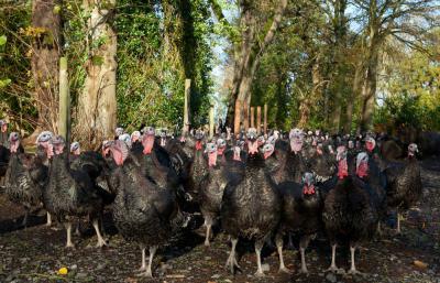 Woodland Turkeys
